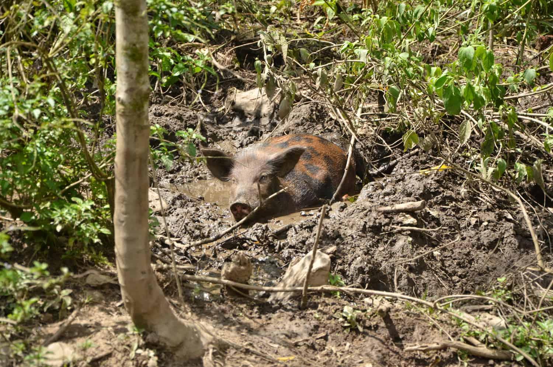 Pig cuidad perdido fendaux