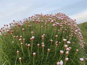flowers in godrevy