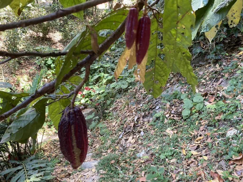 cocao of minca